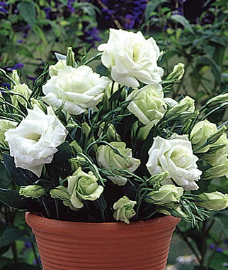 Lisianthus, White Rose, , large