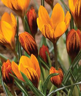 Crocus, Orange Monarch , , large