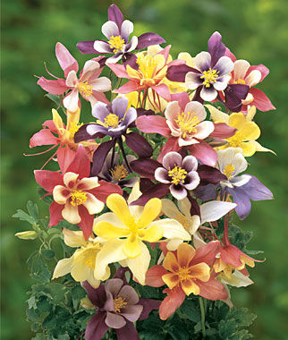 harlequin mixed colors columbine seeds and plants, perennnial, Beautiful flower