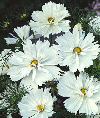 Cosmos, Psyche White, , large