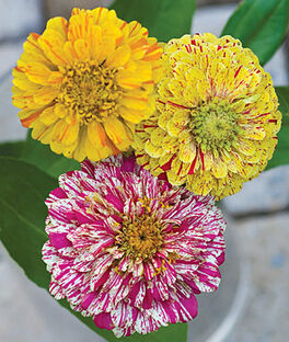 Zinnia, Candy Cane Mix, , large