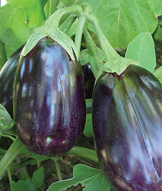 Eggplant, Black Beauty Organic, , large