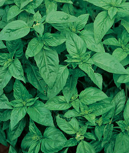 Basil, Sweet, , large