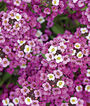 Alyssum, Royal Carpet, , large