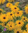 Gloriosa Daisy, Gloriosa Double  Gold, , large
