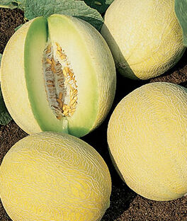 Melon, Venus Hybrid (Honey Dew), , large