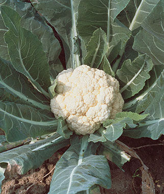 Cauliflower, Snowball Self-Blanching, , large