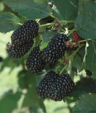 Blackberry Plants For Sale - Triple Crown & Thornless - Burpee.Com