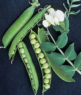 Pea, Garden Sweet, , large