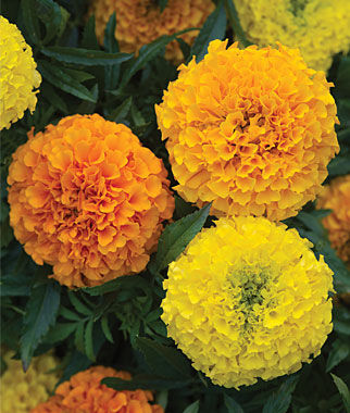 Marigold, Taishan Mix, , large