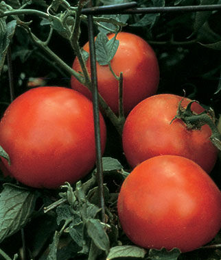 Celebrity Hybrid Tomato Seeds (Bush Type) 2315 | OSC Seeds