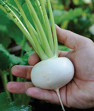Turnip, Oasis Hybrid, , large