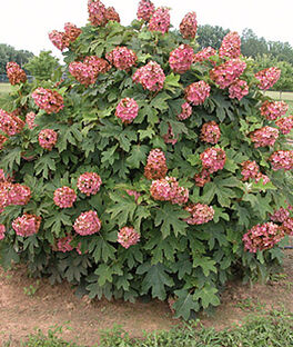 Hydrangea quercifolia, Queen of Hearts, , large
