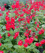 Salvia, Suncrest Bright Eyes, , large