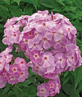 Phlox, David's Lavender, , large
