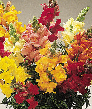Snapdragon Liberty Classic Mix Seed - Urban Farmer