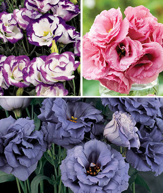 Lisianthus, Deluxe Rose Cut Collection 18 Plants, Annuals, Annual Flowers, Annual Flower Plants, Flower Plants, Flowering Annuals, Bedding Plants