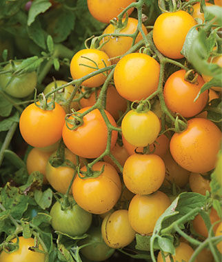 Tomato, Tumbling Tom Yellow Hybrid, , large
