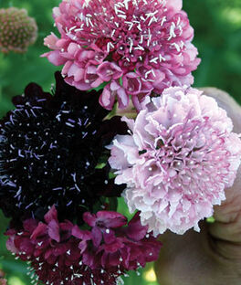 Scabiosa, Summer Berries, , large