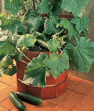 Cucumber, Salad Bush Hybrid  , , large