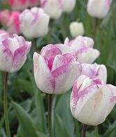 Tulip, Shirley, , large