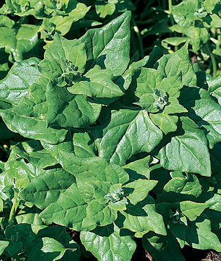 Spinach, New Zealand, , large