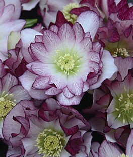 Helleborus, Wedding Party Bridesmaid , , large