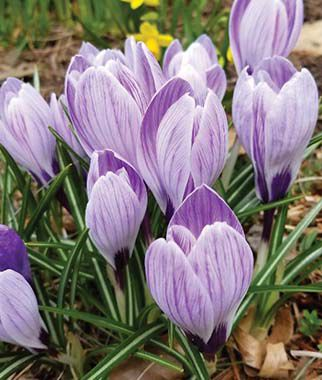 Crocus vernus, Pickwick, , large