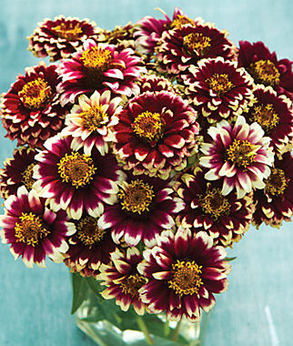 Zinnia haageana, Color Crackle, , large