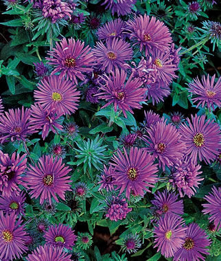 purple dome aster seeds and plants, perennnial flowers at burpee, Beautiful flower