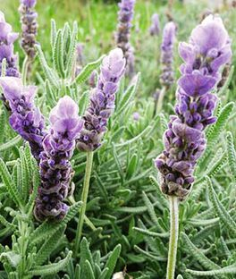 Lavandula dentata, Evermore Blue, , large