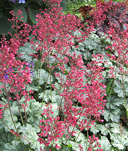 Heuchera, Paris PPAF , , large