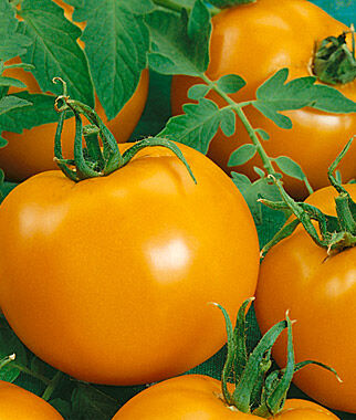 Tomato, Chef's Choice Orange Hybrid 1 Pkt. (25 seeds), Tomatoes, Tomato Seeds, Beefsteak Tomatoes, Slicing Tomatoes, Tomato Starts, Tomato Plants