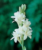 Tuberose, The Pearl, , large