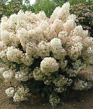 hydrangea paniculata bobo pp 22 782 all perennials at. Black Bedroom Furniture Sets. Home Design Ideas