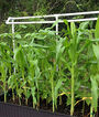 Corn, On Deck Hybrid, , large