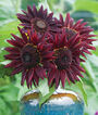 Sunflower, Chianti Hybrid, , large