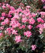 Rose, The Pink Knock Out, , large
