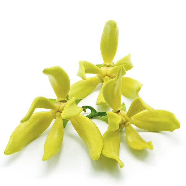 Image of Ylang Ylang Oil (Cananga odorata)