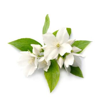Jasmine Flowers (Jasminum officinale) ingredient image