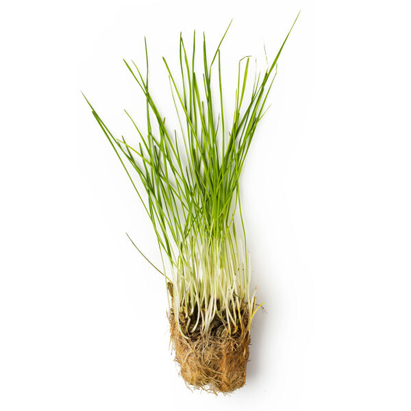 Image of Fresh Wheatgrass Juice (Triticum Vulgare)