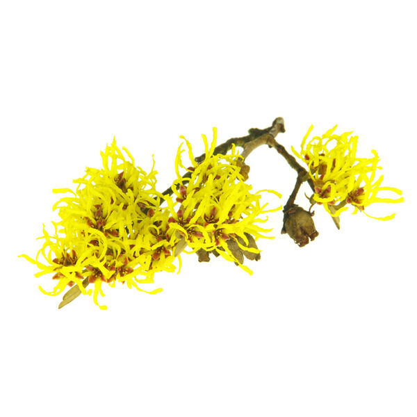 Image of Witch Hazel Infusion (Hamamelis virginiana)