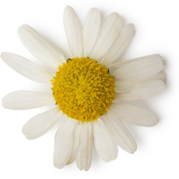 Image of Chamomile Blue Oil (Matricaria Chamomilla)