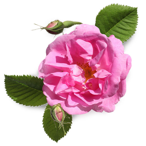 Image of Fresh Rose Petal Infusion (Rosa damascena)