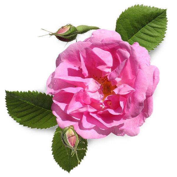 Image of Rose Petal Infusion (Rosa centifolia)