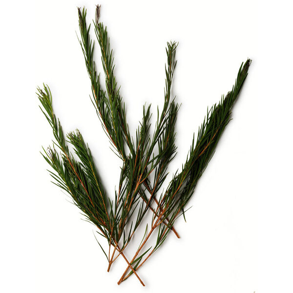Image of Tea Tree Oil (Melaleuca alternifolia)