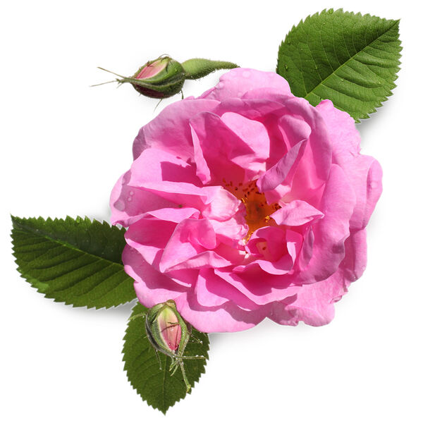 Image of Rose Water (Rosa centifolia)