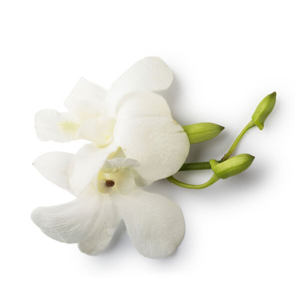 Image of Fresh Dove Orchid Extract (Dendrobium)