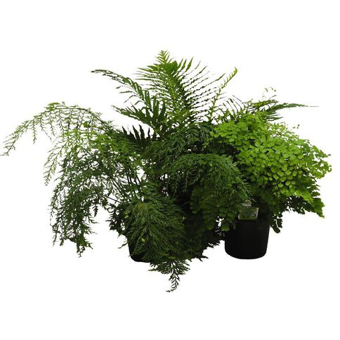 Indoor Fern Selection 15cm Pot