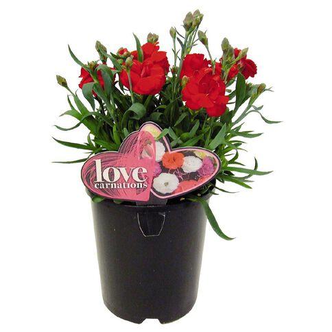 Love Carnation 14cm Pot Assorted
